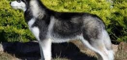 Siberian husky Information and Facts You Should Know