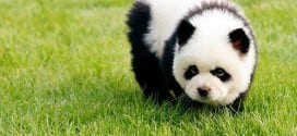 The New Trend that is Chinese Panda Dogs