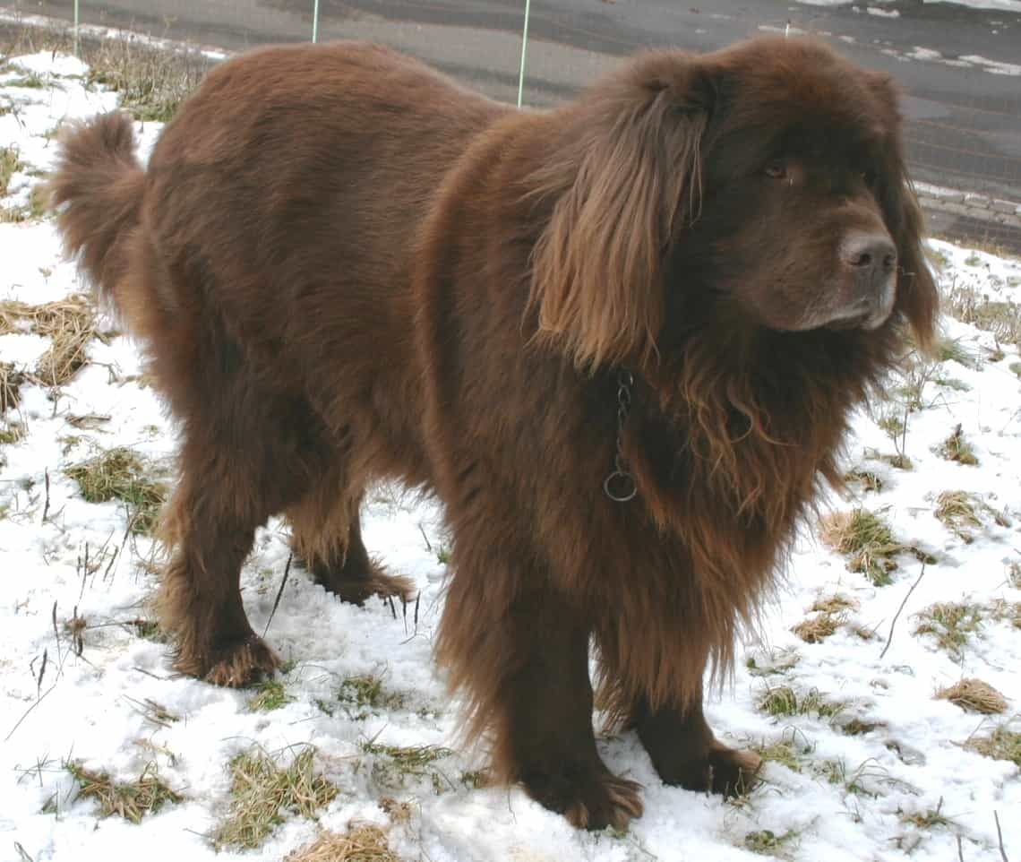 Newfoundland_brown