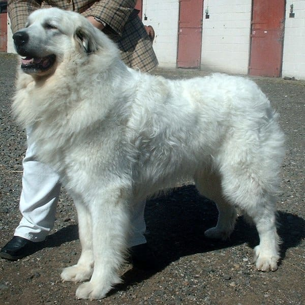 Pyrenean_Mountain_Dog_600